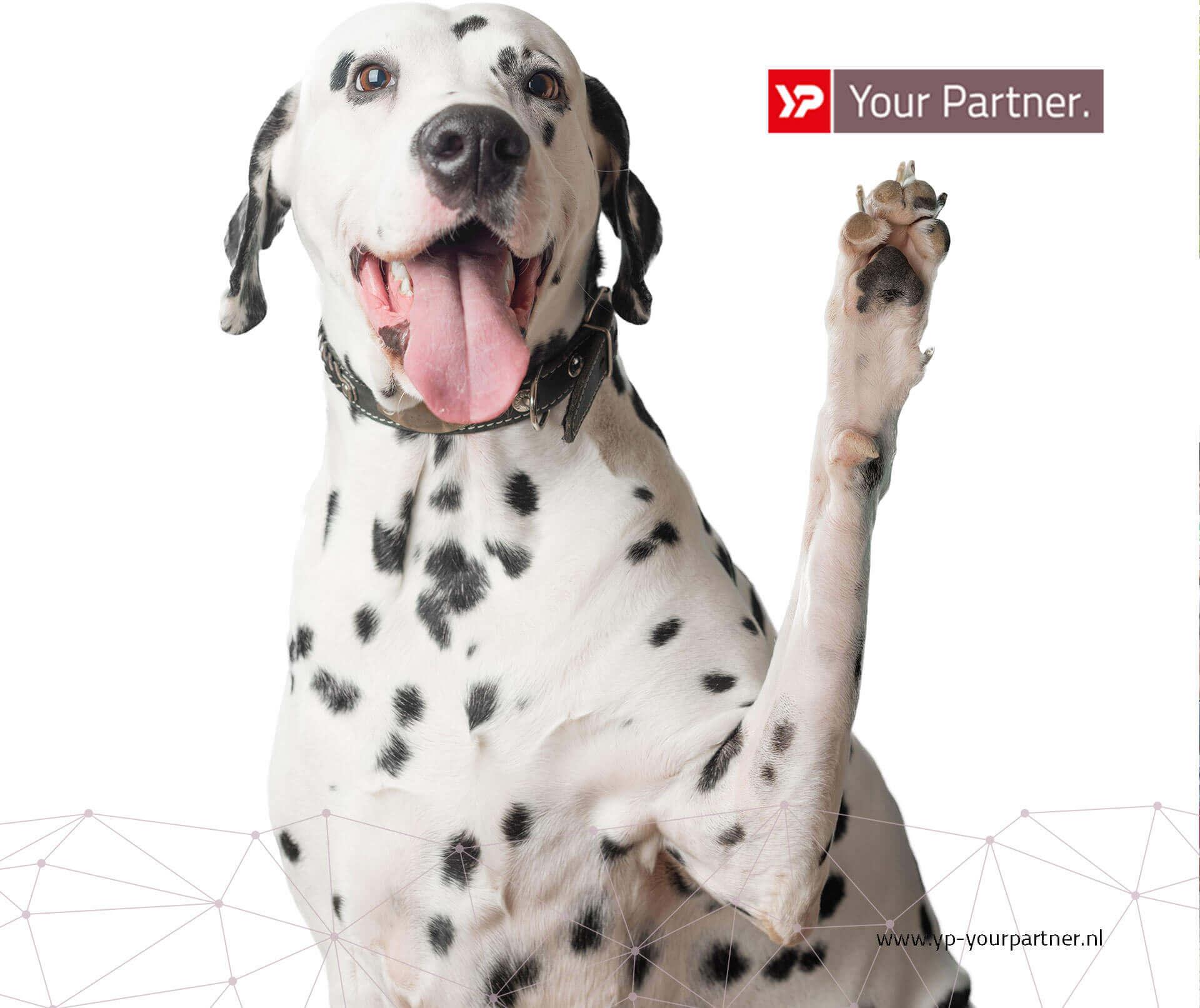 Dalmatier web